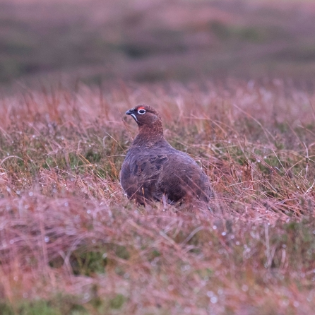 redgrouse-4