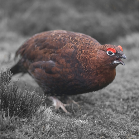 redgrouse-6