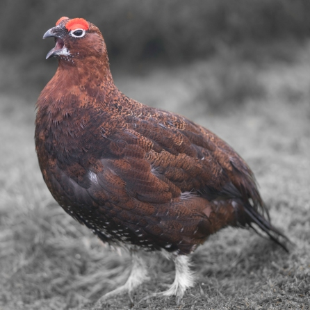 redgrouse-7