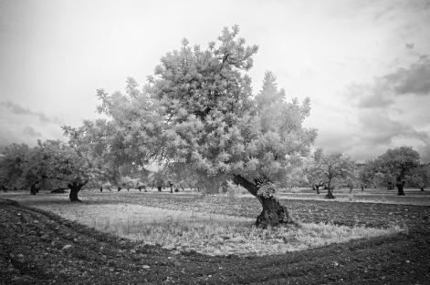carobtree4