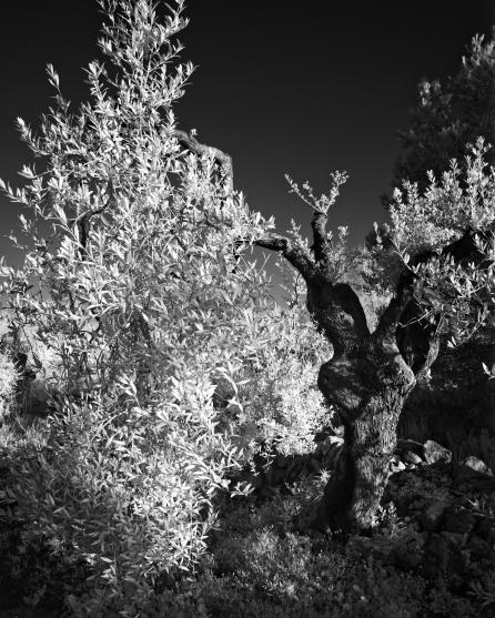olive-tree3