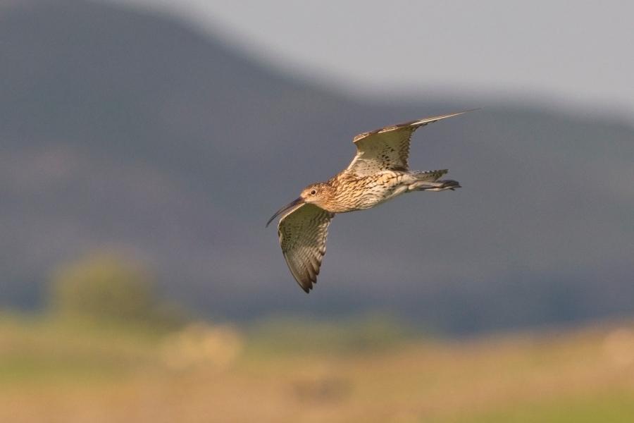 Curlews1