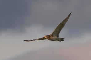 Curlews4