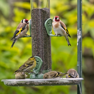 Goldfinches3