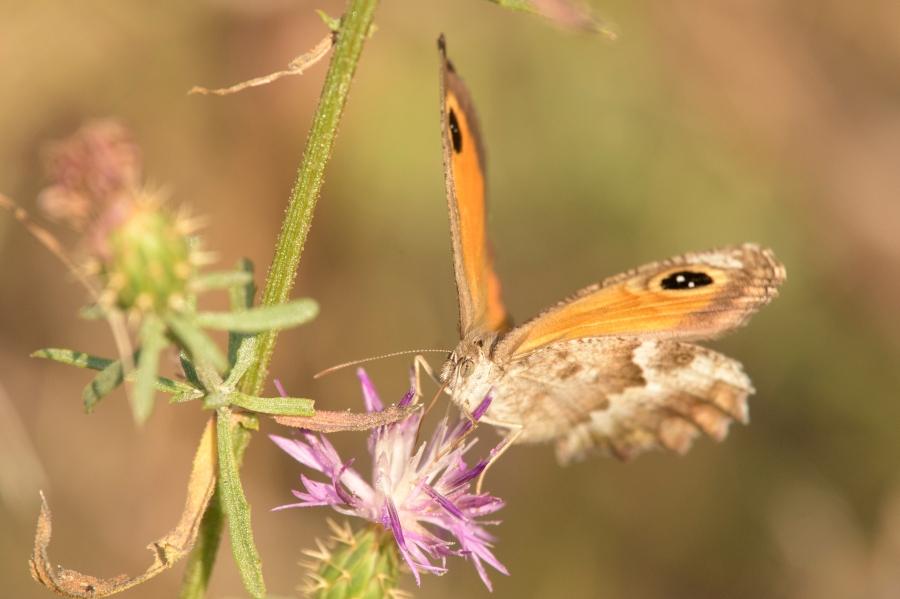 Butterfly-30